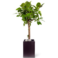 뱅갈고무나무(VIP)